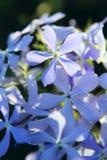 μπλε λουλούδια phlox Στοκ Φωτογραφίες