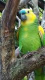 Μπλε λοφιοφόρος παπαγάλος του Αμαζονίου στο πάρκο πουλιών φιλμ μικρού μήκους