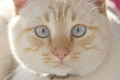 μπλε μάτια γατών Στοκ φωτογραφίες με δικαίωμα ελεύθερης χρήσης