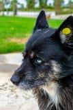 Μπλε μάτια ενός περιπλανώμενου άστεγου λύκου στοκ φωτογραφίες με δικαίωμα ελεύθερης χρήσης