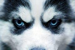 Μπλε μάτια ενός σκυλιού γεροδεμένος Σιβηριανός Στοκ φωτογραφίες με δικαίωμα ελεύθερης χρήσης