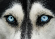 μπλε μάτια σκυλιών στοκ φωτογραφία με δικαίωμα ελεύθερης χρήσης