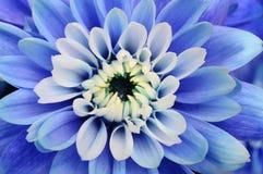 μπλε μακροεντολή λουλουδιών αστέρων Στοκ Εικόνες