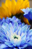 μπλε μακροεντολή λουλουδιών αστέρων Στοκ εικόνες με δικαίωμα ελεύθερης χρήσης