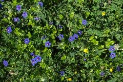 Μπλε μικρό υπόβαθρο λουλουδιών ουρανού Θερινό υπόβαθρο λουλουδιών Στοκ εικόνα με δικαίωμα ελεύθερης χρήσης