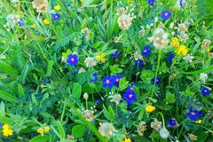 Μπλε μικρό υπόβαθρο λουλουδιών ουρανού Θερινό υπόβαθρο λουλουδιών Στοκ εικόνες με δικαίωμα ελεύθερης χρήσης