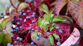 Μπλε μούρα του quinquefolia Parthenocissus - αναρριχητικό φυτό της Βιρτζίνια φιλμ μικρού μήκους