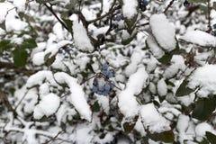 Μπλε μούρα aquifolium Mahonia κάτω από το χιόνι μια χειμερινή ημέρα Στοκ Εικόνες