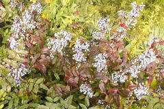 Μπλε μούρα aquifolium Mahonia μια ημέρα φθινοπώρου Στοκ Εικόνα