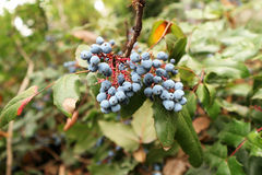 Μπλε μούρα aquifolium Mahonia Στοκ εικόνες με δικαίωμα ελεύθερης χρήσης