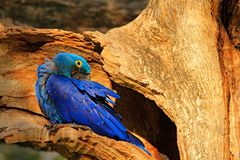 Μπλε να τοποθετηθεί φωλιών δέντρων macaw συμπεριφορά Υάκινθος Macaw, hyacinthinus Anodorhynchus, στην κοιλότητα φωλιών δέντρων, P Στοκ Εικόνες