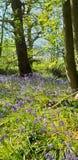 Μπλε ξύλα κουδουνιών Στοκ Εικόνες