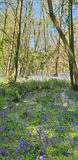 Μπλε ξύλα Σάφολκ κουδουνιών Στοκ Εικόνες