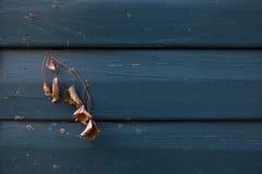 Μπλε ξύλινα σύσταση και υπόβαθρο με το ξηρό φύλλο στοκ φωτογραφία