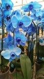 Μπλε ορχιδέες στα δοχεία λουλουδιών στοκ φωτογραφία με δικαίωμα ελεύθερης χρήσης