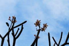 Μπλε ουρανός, δέντρο Α με τα λουλούδια της Στοκ Εικόνες