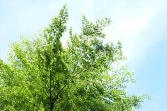 Μπλε ουρανός δέντρων και κορυφή δέντρων ενάντια στο μπλε ουρανό Στοκ Φωτογραφίες
