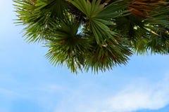 Μπλε ουρανός και σύννεφα με Areca το φοίνικα ή betel καρυδιών - καρύδια Στοκ εικόνες με δικαίωμα ελεύθερης χρήσης