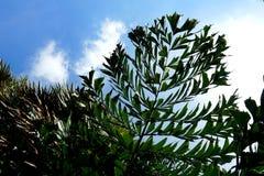 Μπλε ουρανός και σύννεφα με Areca το φοίνικα ή betel καρυδιών - καρύδια Στοκ Εικόνες