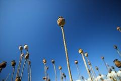 μπλε ουρανός παπαρουνών Στοκ εικόνα με δικαίωμα ελεύθερης χρήσης