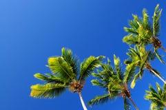 μπλε ουρανός φοινικών Στοκ Εικόνα