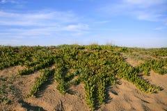 μπλε ουρανός φυτών livingstone αμμό&lambda Στοκ εικόνες με δικαίωμα ελεύθερης χρήσης