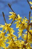 μπλε ουρανός forsythia λουλο&upsilo Στοκ φωτογραφία με δικαίωμα ελεύθερης χρήσης