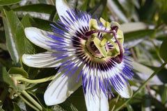 μπλε πάθος λουλουδιών Στοκ φωτογραφίες με δικαίωμα ελεύθερης χρήσης