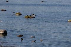 Μπλε πάπιες στη θάλασσα της Βαλτικής μια ηλιόλουστη θερινή ημέρα στοκ φωτογραφία