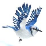 Μπλε πέταγμα πουλιών του Jay στοκ εικόνα με δικαίωμα ελεύθερης χρήσης