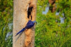 Μπλε παπαγάλος στον πράσινο τροπικό δασικό μεγάλο μπλε υάκινθο Macaw, hyacinthinus παπαγάλων Anodorhynchus, στην κοιλότητα φωλιών Στοκ Εικόνες