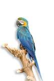 μπλε παπαγάλος Στοκ φωτογραφία με δικαίωμα ελεύθερης χρήσης