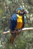 Μπλε παπαγάλος ara Το Ara είναι φυλή των neotropical παπαγάλων Στοκ φωτογραφία με δικαίωμα ελεύθερης χρήσης