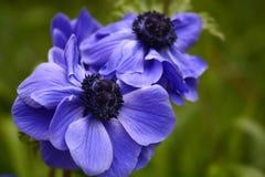 Μπλε παπαρούνα anemones Στοκ Εικόνες