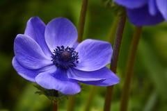 Μπλε παπαρούνα anemones Στοκ Φωτογραφίες