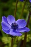 Μπλε παπαρούνα anemones Στοκ φωτογραφία με δικαίωμα ελεύθερης χρήσης