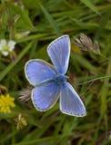 μπλε πεταλούδα κοινή Στοκ Φωτογραφίες