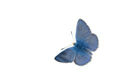 μπλε πεταλούδα κοινή Στοκ εικόνα με δικαίωμα ελεύθερης χρήσης