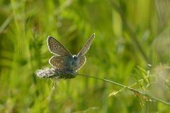 μπλε πεταλούδα κοινή Στοκ Εικόνα