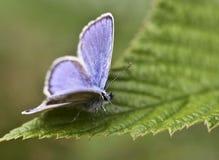 Μπλε πεταλούδα στο πράσινο φύλλο στοκ φωτογραφία