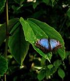 μπλε πεταλούδα τροπική Στοκ φωτογραφία με δικαίωμα ελεύθερης χρήσης