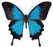μπλε πεταλούδα Στοκ φωτογραφία με δικαίωμα ελεύθερης χρήσης