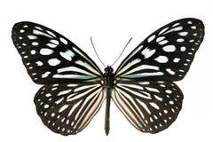 μπλε πεταλούδα Στοκ Φωτογραφίες