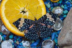 Μπλε πεταλούδα Hamadryas κροτίδων arinome σε μια πορτοκαλιά φέτα στοκ φωτογραφία με δικαίωμα ελεύθερης χρήσης