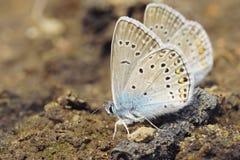 μπλε πεταλούδες δύο Στοκ Φωτογραφίες