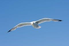 μπλε πετώντας ουρανός ρεγγών γλάρων Στοκ Εικόνα