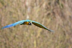 μπλε πετώντας χρυσός macaw Τροπικό πουλί κατά την πτήση Στοκ εικόνες με δικαίωμα ελεύθερης χρήσης