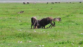 Μπλε πιό wildebeest πάλη φιλμ μικρού μήκους