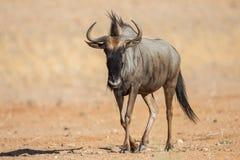 Μπλε πιό wildebeest περπάτημα Στοκ Εικόνες