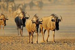 Μπλε πιό wildebeest σε μια ξηρά κοίτη ποταμού στοκ εικόνες